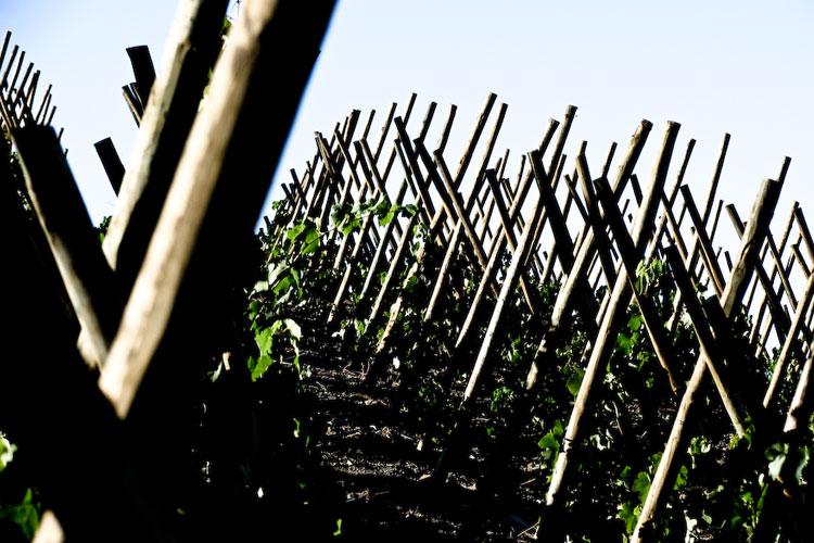 ferrer_bobet_wine-growing_1