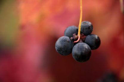uvas-vinedo